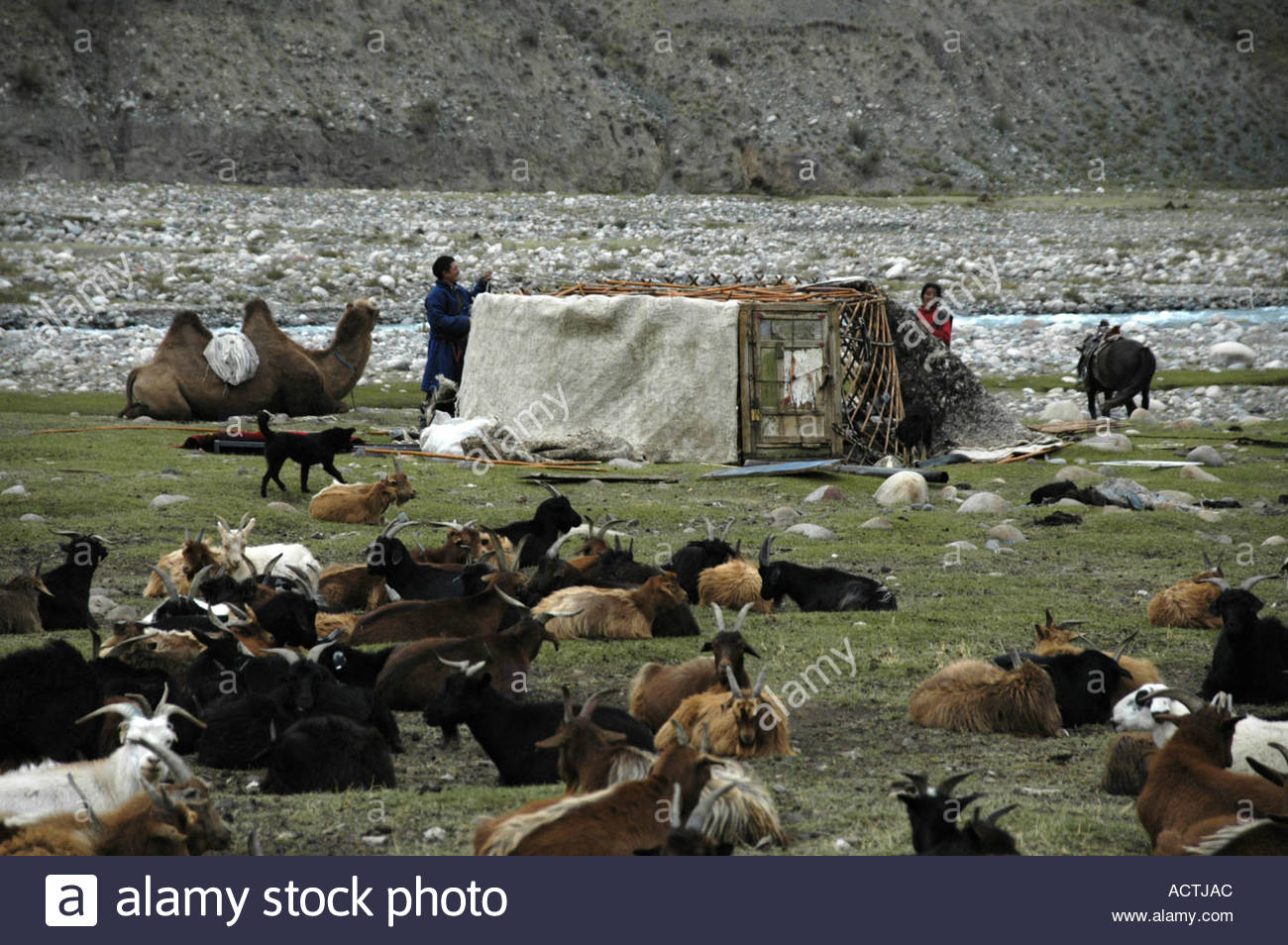 nomads-family-with-herds-of-goats-and-camel-pulls-down-a-yurte-mongolian-ACTJAC